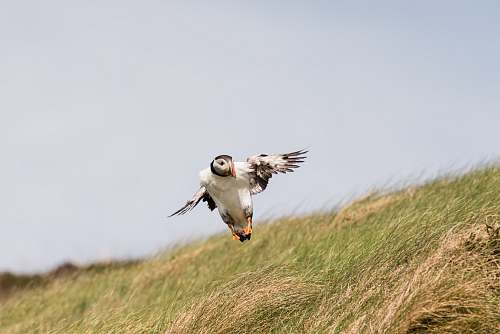 photo bird puffin bird flying near tall grasses flying free for commercial use images