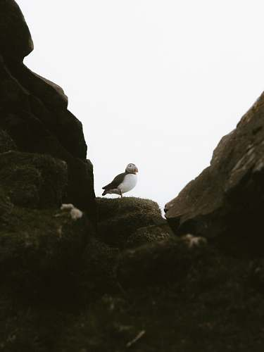 photo bird puffin bird on gray rock seagull free for commercial use images