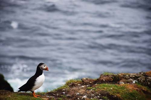 photo bird puffin bird standing on mountain cliff grey free for commercial use images