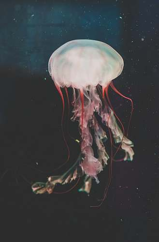 jellyfish red and white jellyfish painting invertebrate