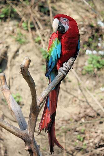 photo bird red, blue, and green parrot on driftwood macaw free for commercial use images