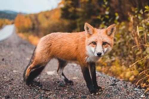 fox red fox canine
