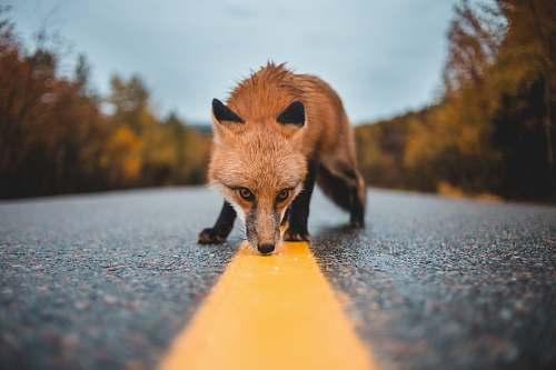 wildlife red fox on concrete road fox