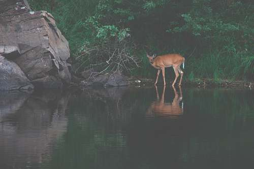 antelope reflection of brown deer on body of water wildlife