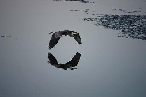 flying reflection of flying bird on water plum island