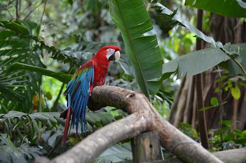 photo bird scarlet Macaw on branch parrot free for commercial use images