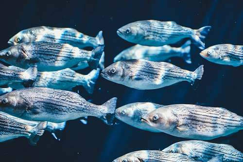 photo fish school of silver fish water free for commercial use images