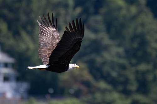 bird selective focus photography of bald eagle during daytime bald eagle