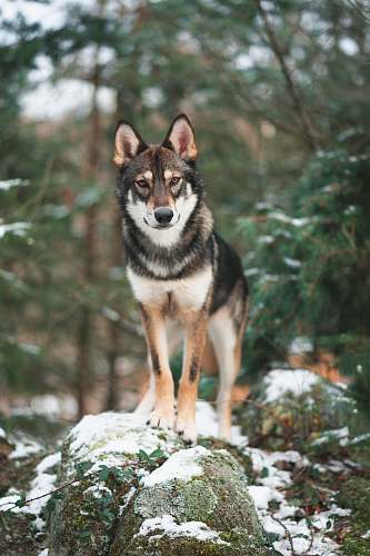 dog selective focus photography of black and brown wolf husky