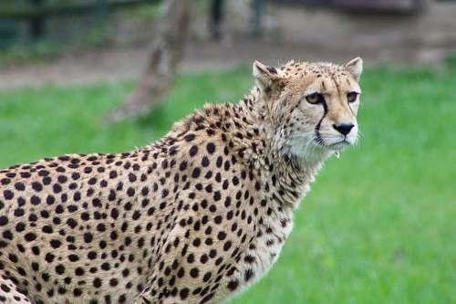 mammal selective focus photography of cheetah wildlife