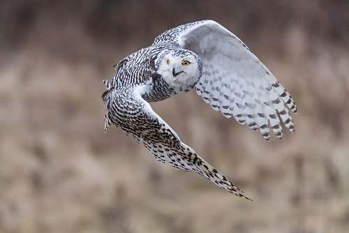 bird selective focus photography of female snowy owl during flight grey