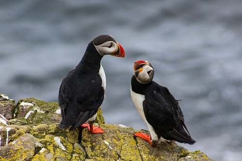 photo bird selective focus photography of two Atlantic puffins puffin free for commercial use images