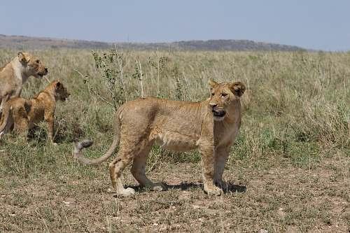 mammal several lioness in wild lion