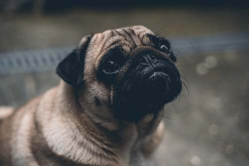 dog shallow focus photography of adult fawn pug canine