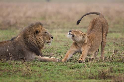 lion shallow focus photography of lioness standing beside lion wildlife