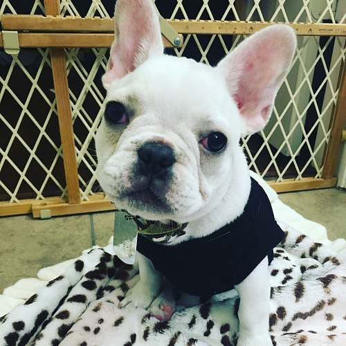photo dog short-coated white puppy french bulldog free for commercial use images