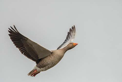photo bird soaring gray bird goose free for commercial use images