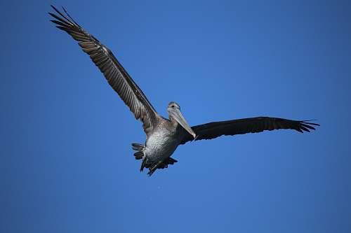 bird soaring gray pelican pelican