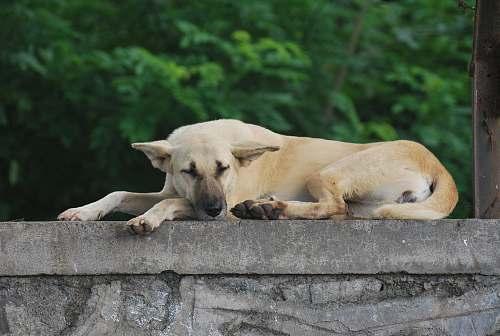 lion tan dog mammal