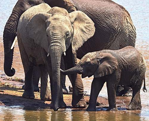 elephant three elephants near body of water wildlife