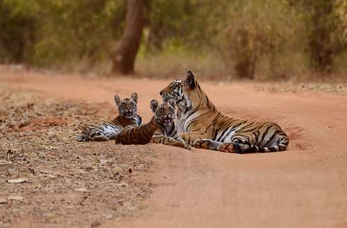 tiger three tigers lying on brown sand ay daytime wildlife