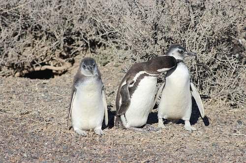 bird three white and black penguins beside plants penguin