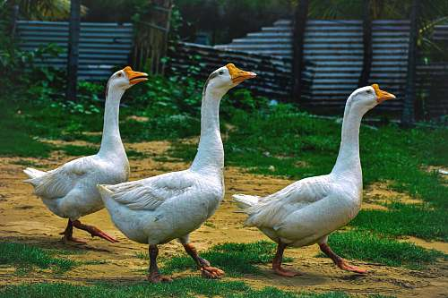 photo bird three white ducks walking goose free for commercial use images