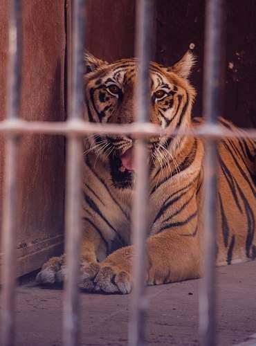 mammal tiger inside cage tiger