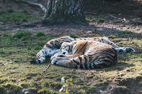 mammal tiger photograph tiger