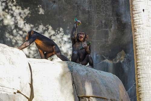 mammal two brown monkeys ape