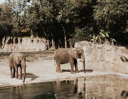 mammal two elephants elephant