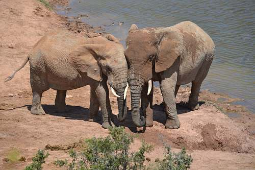 mammal two elephants near river elephant