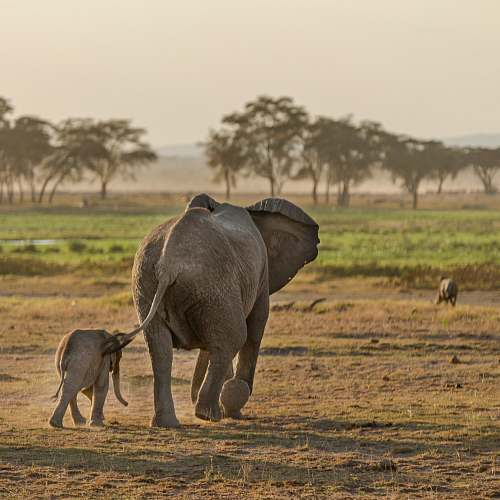 mammal two gray elephants walking on open field elephant
