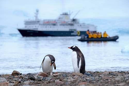 bird two penguins on shore penguin