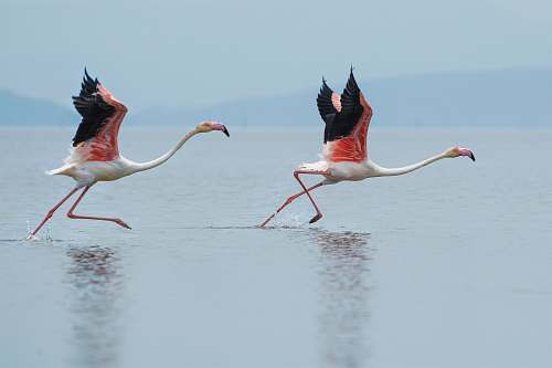 photo bird two white-and-pink flamingoes running on water flamingo free for commercial use images