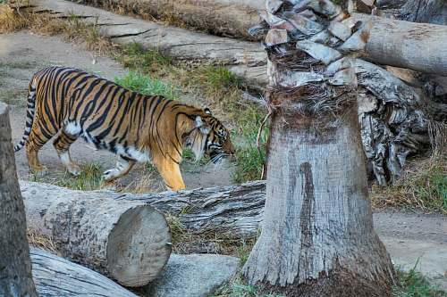 mammal walking adult tiger beside logs tiger