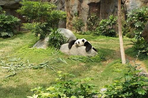 wildlife white and black panda relaxing on rock bear
