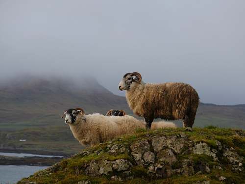 mammal white and brown rams standing on stone sheep