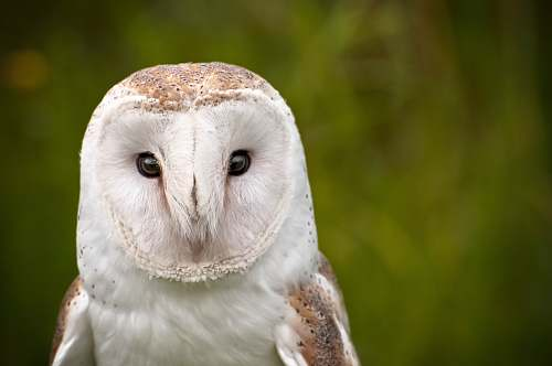 bird white barn owl owl