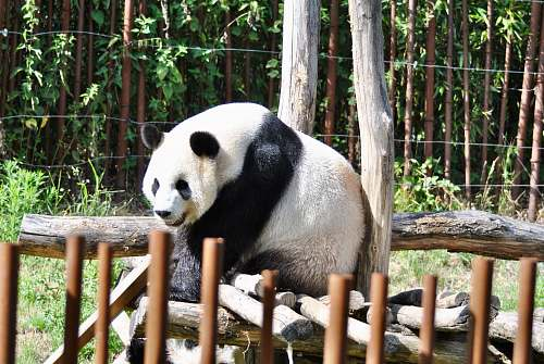 wildlife white panda mammal
