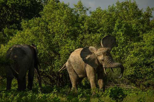 elephant wildlife photo of two gray elephants mammal