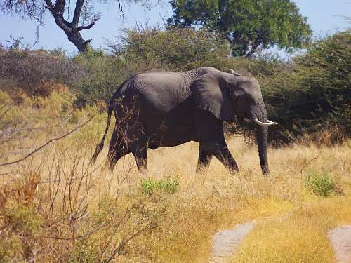 mammal wildlife photography of elephant walking on brown grass during daytime elephant