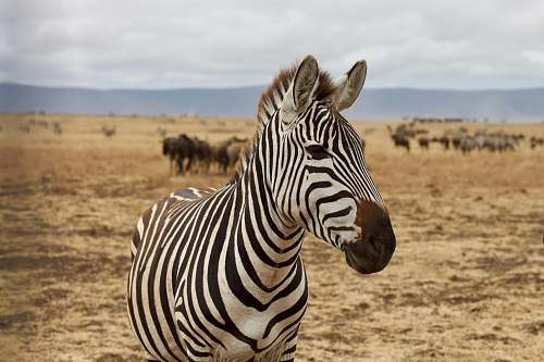 mammal zebra animal zebra