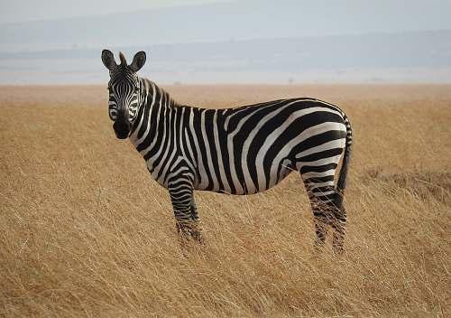 mammal zebra in Savanna zebra