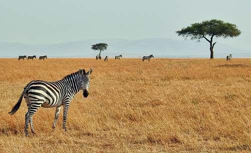 zebra zebra in wild wildlife