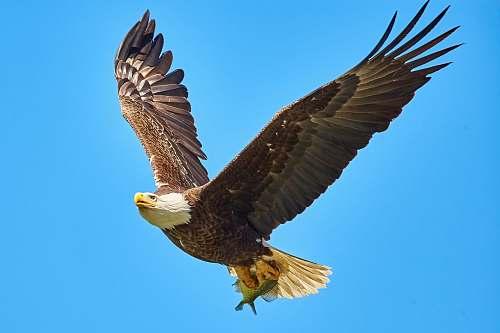 animal American Bald Eagle flying on sky eagle