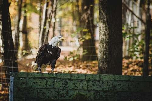 animal bald eagle on gray concrete fence across woods eagle