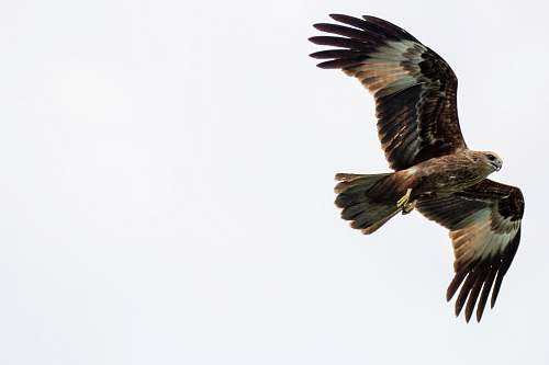 animal black and brown eagle flying on air eagle