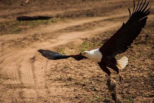 animal black and white eagle eagle