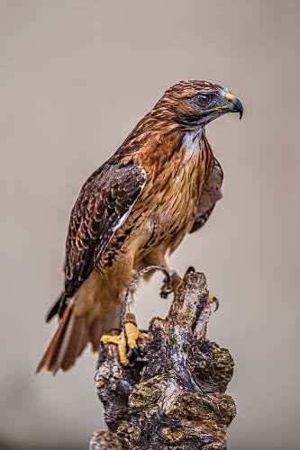buzzard brown and black eagle hawk